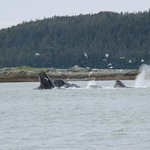 Bubble feeding in Juneau with Dolphin Jet Boat Tours