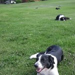 The always entertaining ranch Border Collies