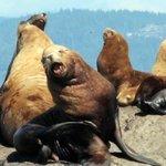 Sea lions August 31 2014