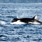 2 Female Orca's August 31 2014