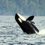 Orca whale August 31 2014