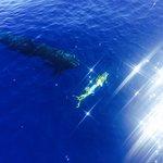 False killer whale about to eat a mahimahi