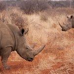 White Rhino aplenty
