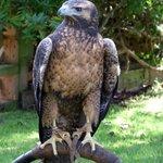 Juvenile Chilean Blue Eagle/Buzzard