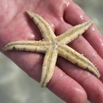 звезда морская