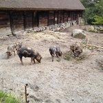 Linderödssvin på Skansen
