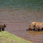 Mother beer teaching cubs to swim