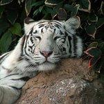 Lazy Tiger (108848587)