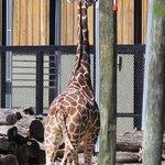 Giraffe playing with ball.