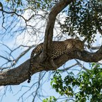 A relaxed leopard seen during a game drive
