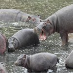 Hippos from the viewing area.