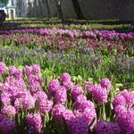 Hyacinths by the thousands