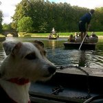 Poppy the jack russell punting with Scudamores