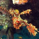 Ornate Ghost Pipefish at The Caves