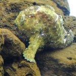 Rock frog fish,