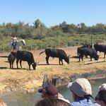 Une gardianne et des taureaux
