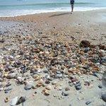 Shells on Shackleford Banks