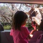 Olivia (3) hand feeds a gentle Red Deer who let us pet him.