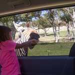 Olivia (3) hand-feeds a friendly zebra who let us pet him.