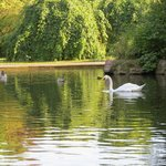 Swans in St Stephens Green