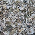 Knee deep in oysters!