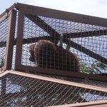 top of orangutan cage