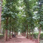 avenue of teak trees