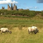Sheep grazing near the castle.