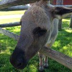 Doobie, the resident donkey