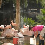 Feeding the Flamingos