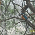 Indian Roller or blue neck
