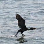 Cormorant right by the boat