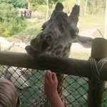 "Feeding the Giraffe a ""cracker"""