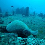 Sea turtle resting on top of the Sea Tiger wreck (Labor Day weekend, 2014)