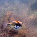 Humahumanukanukaapuaa Hawaiian trigger fish