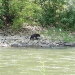 Bear seen on other side of river from bike trail
