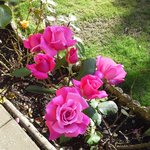 One of the many rose bushes in the garden
