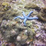 bright blue starfish