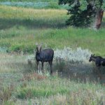 Mother Moose and youngster