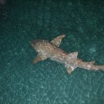 large shark near jetty