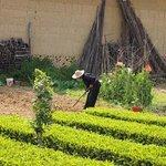 塔下村の茶畑