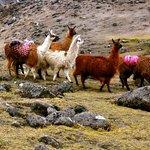 Llama train, Cordillera Real