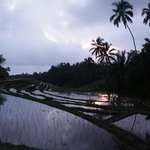 paddy field in the evening