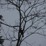 Turkey vulture sleeping in a tree outside our room