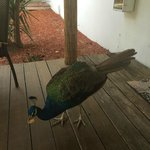 Friendly peacock came to visit each day at Cottage 2-could feed by hand!