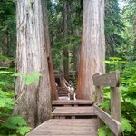Giant cedars dog friendly boardwalk