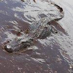Mommy Alligator