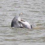 Kissing Dolphin Jekyll Island Georgia