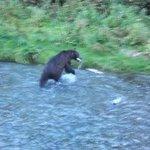 Bear munching on Salmon from Fish Creek platform