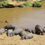Hippos - view from our tent